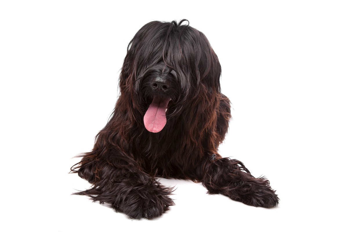 Briard Hannover
